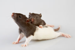 Laboratory rat. Brattleboro laboratory rat isolated on grey background Stock Photo