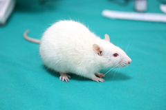 Laboratory rat Stock Photos
