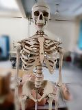Laboratory Skeleton stock images