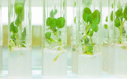 Laboratory tubes with litle plants of potato Royalty Free Stock Photography