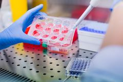Laboratory work with tissue cultures royalty free stock images