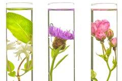 Laboratório, rosa, madressilva, cardo e dente-de-leão na cuba do teste Foto de Stock