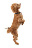 Labordoodle Dog Standing Begging. A golden color Labordoodle mixed breed dog standing on his hind legs begging Royalty Free Stock Image