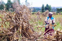 Laborer harvesting maize. Farm laborers separating maize cobs from their stalks during harvesting time Stock Image