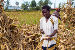 Laborer harvesting maize Royalty Free Stock Images