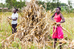 Laborer harvesting maize. Farm laborers separating maize cobs from their stalks during harvesting time Stock Photo