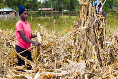 Laborer harvesting maize. Farm laborers separating maize cobs from their stalks during harvesting time Stock Photography