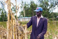 Laborer harvesting maize Stock Photo