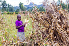 Laborer harvesting maize Stock Photography