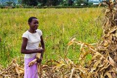 Laborer harvesting maize Stock Image