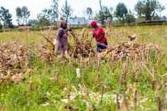 Laborer harvesting maize Royalty Free Stock Image