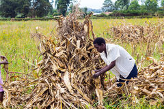 Laborer harvesting maize. Farm laborers separating maize cobs from their stalks during harvesting time Royalty Free Stock Photography