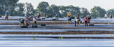Laborers at asparagus field. A group of workers cutting asparagus royalty free stock photo