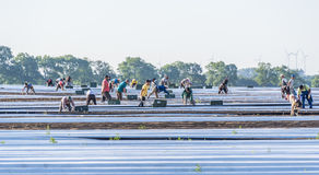 Laborers at asparagus field. A group of workers cutting asparagus stock photos