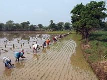 Laborers planting rice in India Royalty Free Stock Images