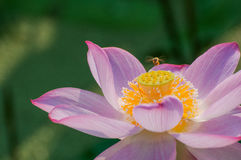 Laborious Bee and  Lotus Royalty Free Stock Photos