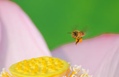Laborious Bee and  Lotus Stock Photos
