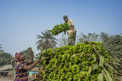Labors are loading to pickup van on green bananas. Bangladeshi labors are stacking and loading to pickup van on green bananas for sending them to wholesale Stock Images