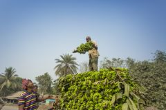 Labors are loading to pickup van on green bananas. Bangladeshi labors are stacking and loading to pickup van on green bananas for sending them to wholesale Stock Image