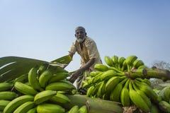 Labors are loading to pickup van on green bananas. Bangladeshi labors are stacking and loading to pickup van on green bananas for sending them to wholesale Stock Photo