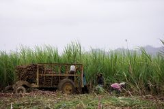 Labour Of Sugar Cane Stock Images