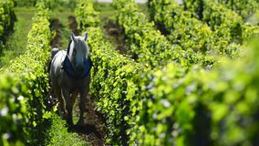 Labour Vineyard with a draft horse stock video footage