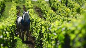 Labour vingård med en utkasthäst