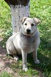 Labrabor Apportierhund Lizenzfreie Stockfotografie