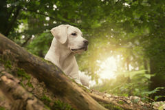Labrader dog puppy in the forest on summer sunrise walk Royalty Free Stock Photography
