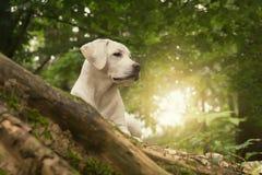 Labrader jest prześladowanym szczeniaka w lesie na lato wschodu słońca spacerze Fotografia Royalty Free
