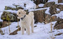 Labradoodle, χιόνι και πράσινοι βράχοι Στοκ Φωτογραφία