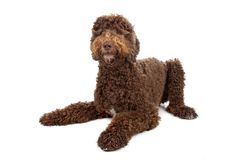 Labradoodle Stock Photo