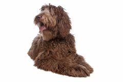 Labradoodle Royalty Free Stock Image