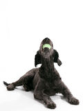 Labradoodle Royalty Free Stock Photos