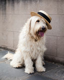 Labradoodle Photographie stock