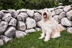 Labradoodle Photos stock