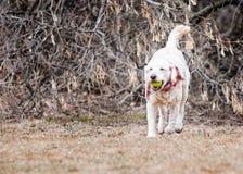Σκυλί Labradoodle Στοκ φωτογραφία με δικαίωμα ελεύθερης χρήσης