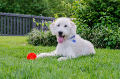 Labradoodle avec Toy Ball rouge Photos stock