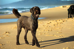 Labradoodle With A Ball Royalty Free Stock Photos