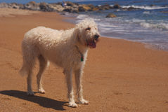 Labradoodle At The Beach. The labradoodle is Southern California's newest dog breed royalty free stock photo