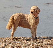 Labradoodle beach dog Royalty Free Stock Photos