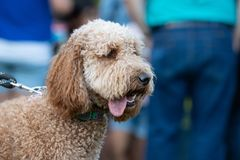 Labradoodle Canis lupus familiaris on a leash. With a tongue sticking out, outdoors stock image