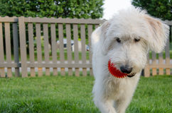 Labradoodle Carrying Ball Action. A white labradoodle brings a red ball back to the thrower in a game of fetch stock images