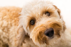 Labradoodle. Close up picture of a Labradoodle Royalty Free Stock Photo