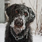 Labradoodle Covered in Snow. Portrait of a black labradoodle dog playing in the snow Royalty Free Stock Photos