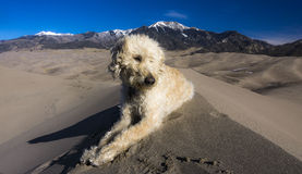 Labradoodle on Crest of Dune Royalty Free Stock Photos