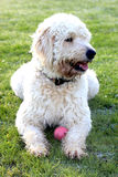 Labradoodle dog. A happy labradoodle dog laying on a green lush field with a ball Royalty Free Stock Image
