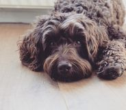 Labradoodle dog Brown stock image