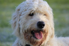 Labradoodle dog close up Stock Photos