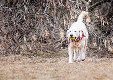 Labradoodle Dog Royalty Free Stock Photo